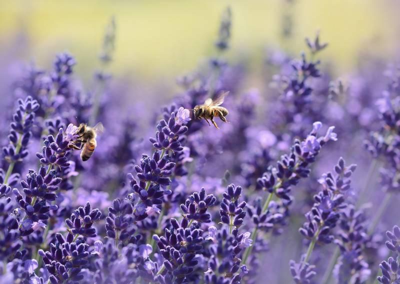 Bilde av Luksuriøs Lavendel